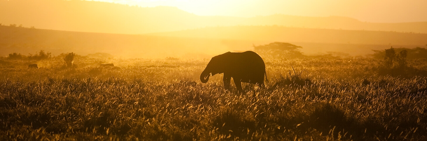 Photo of an elephant walking through a grassy plain at sunset